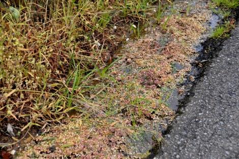 Valeta com água (e plantas aquáticas) atingida por herbicida (Feridouro)