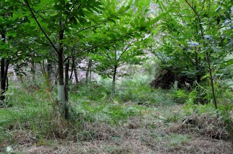 Estas árvores, plantadas em 2010, apresentam este ano um vigor acrescido
