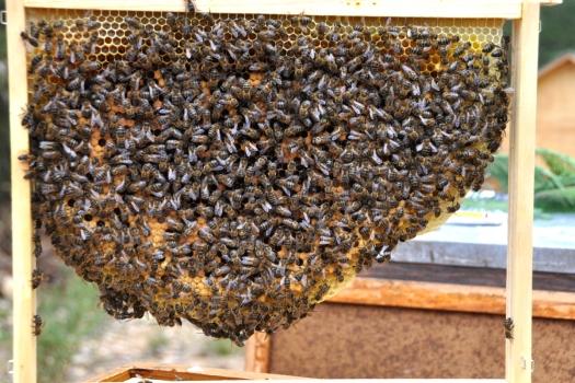 Favo natural, criação em baixo, reservas de mel em cima. Este contém a rainha. (Onde está?)
