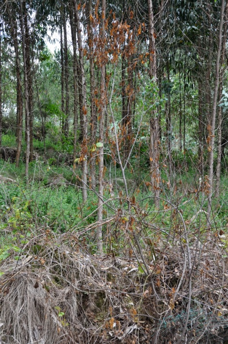 Arbusto (Frangula alnus) queimado