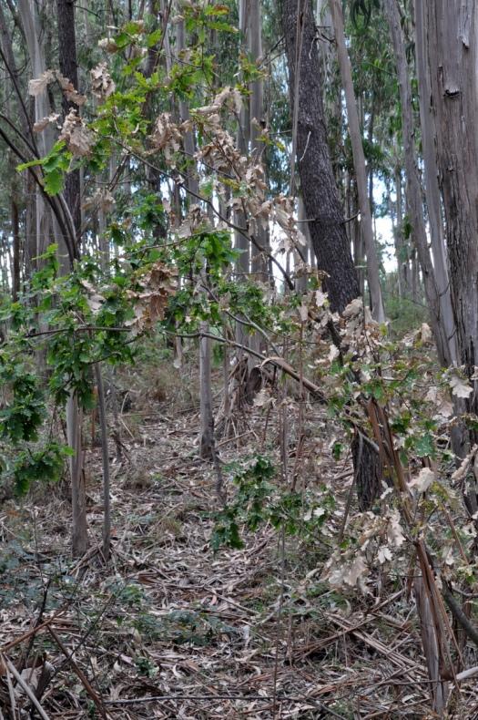 Carvalho, um apenas entre as várias árvores queimadas entre Belazaima e o Feridouro)
