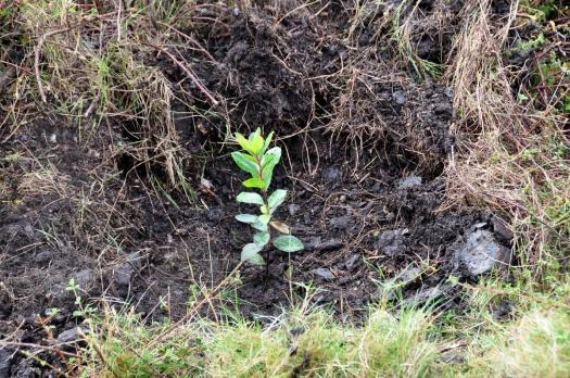 Medronheiro plantado