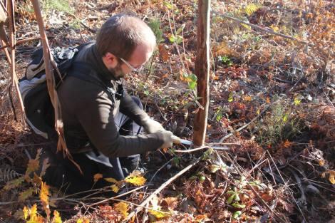 Cortando um eucalipto