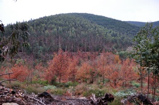O pequeno bosque, agora sem mimosas, com o Cabeço do Meio em fundo.