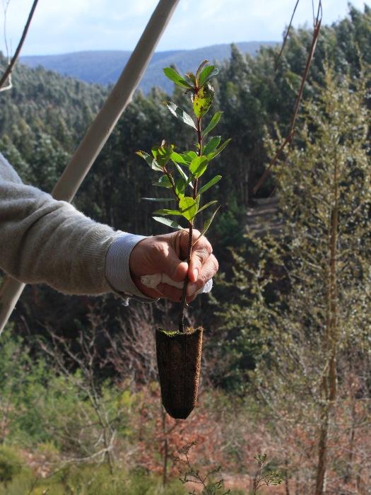 Medronheiro pronto a plantar