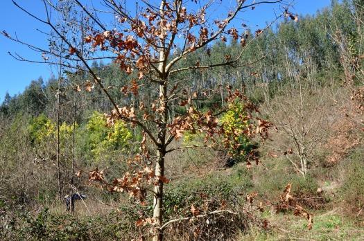 Os sempre presentes: carvalhos, mimosas e eucaliptos