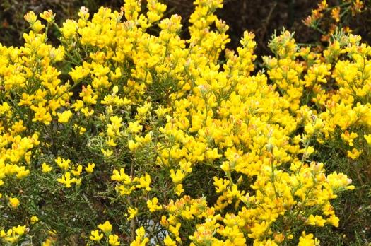 Detalhe da flor da carqueja