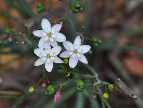 Simethis mattiazzi, e suas delicadas flores