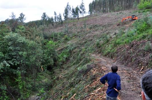 Voluntários observam recuperação de eucaliptos nuam zona muito declivosa