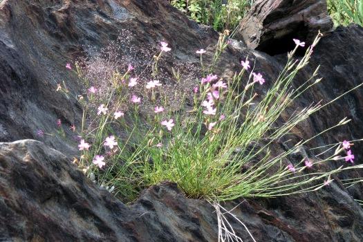 Cravos-rosados (Diathus lusitanus), uma planta