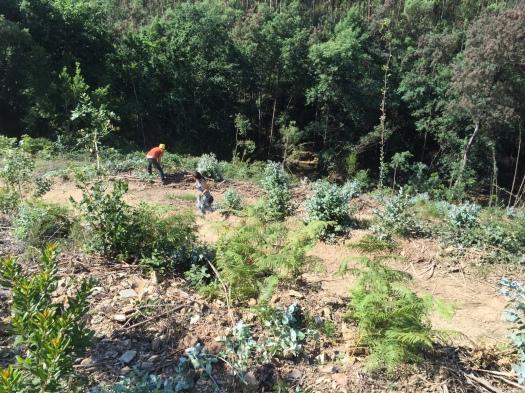 Trabalhos de corte de rebentos de eucalipto