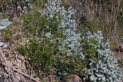 Murtas que conseguiram resistir a décadas de cultivo de eucaliptos!
