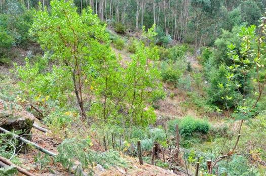 Os medronheiros eram, neste solo rochoso e agreste, as principais plantas nativas