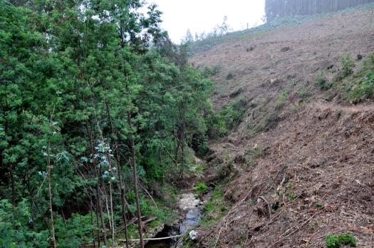 A norte, encosta íngreme, e eucaliptal recentemente cortado. Junho