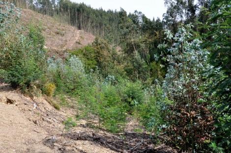 Parcela com rebentação de eucalipto e mimosa