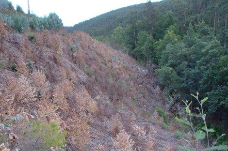 """A encosta adjacente à represa da foto anterior, agora em Outubro , já com a rebentação de eucalipto """"tratada"""""""