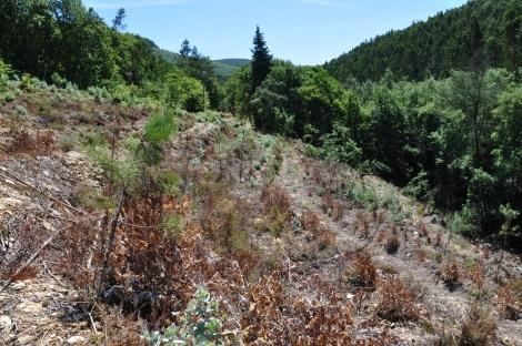 Perspectiva para montante da parcela, em Agosto. À direita mimosas e o ribeiro, à esquerda, carvalhal