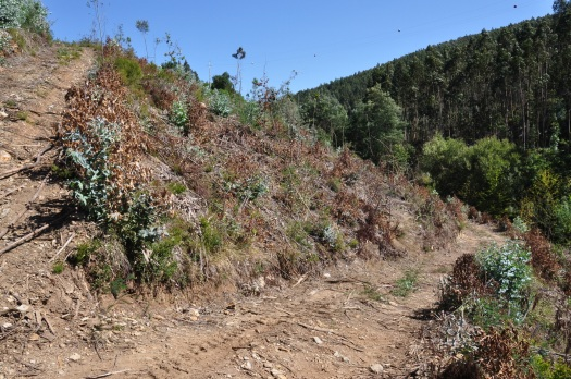 O mesmo local já em Agosto, depois de uma primeira pulverização da rebentação com herbicida