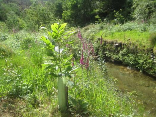 Castanheiro, plantado à cerca de 2 anos