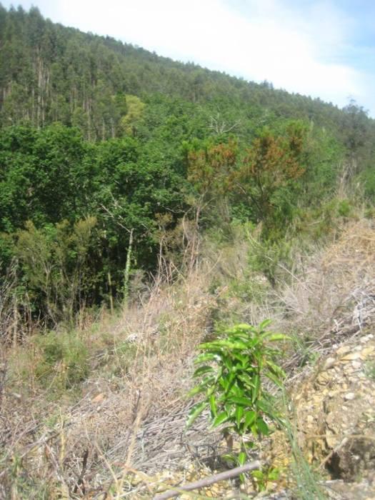Azereiro plantado este ano com a encosta virada a norte do ribeiro, em pano de fundo